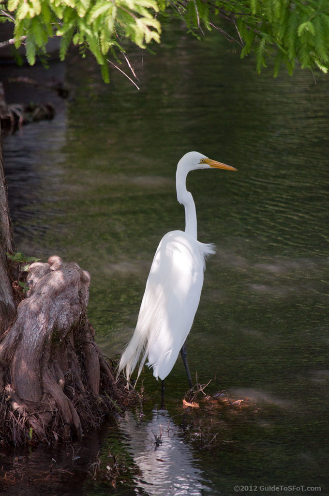Great Egret at Six Flags over Texas